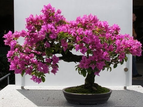 Bougainvillea Bonsai Bougainvillea Bonsai Repotting How To Grow Bougainvillea Bonsai Green Plants Youtube