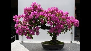 bougainvillea bonsai | bougainvillea bonsai repotting/ How to Grow Bougainvillea Bonsai/GREEN PLANTS