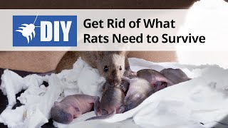 Get Rid of What Rats Need to Survive
