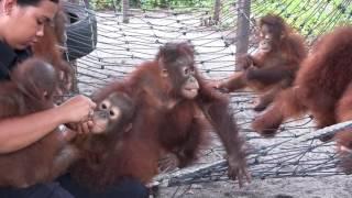 Orangutan Foundation International Eco Tours