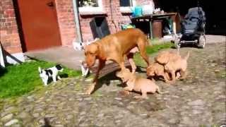 Vizsla Meet's Terrier