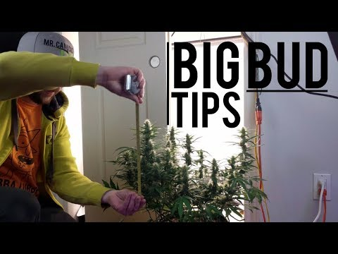 BEGINNER AUTOFLOWER GUIDE: TIPS FOR BIGGER BUDS