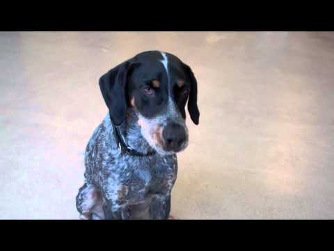 Hunter a Bluetick Coonhound Mix available for adoption at ...