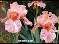 BUY TALL BEARDED IRISES - German Bearded Iris Gardening, Plant Flowers, Plant Care