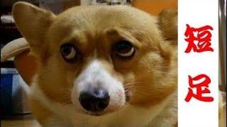 コーギーのミックス犬動画!!かわいい短足画像,ハスキー,ダルメシアン,柴犬,ビーグル雑種 チ...