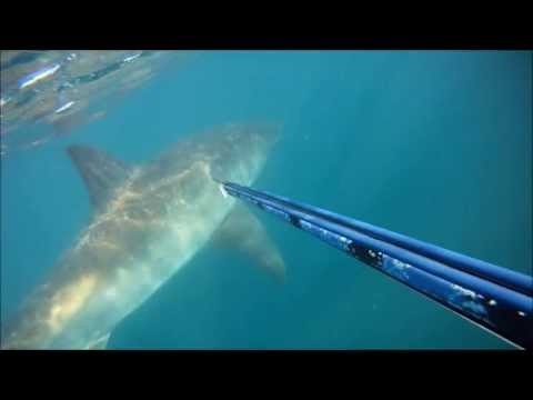 Greatwhite Comes Too Close
