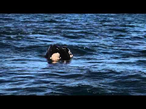 รายการ เรื่องเล่าข้ามโลก ตอนที่ 35 Southerh Right Whale