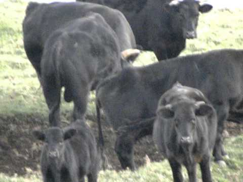 Wild Cattle Herd Hawaii