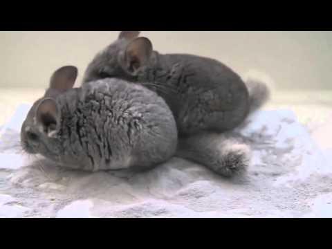 Кошка и шиншилла! - Видео Dailymotion
