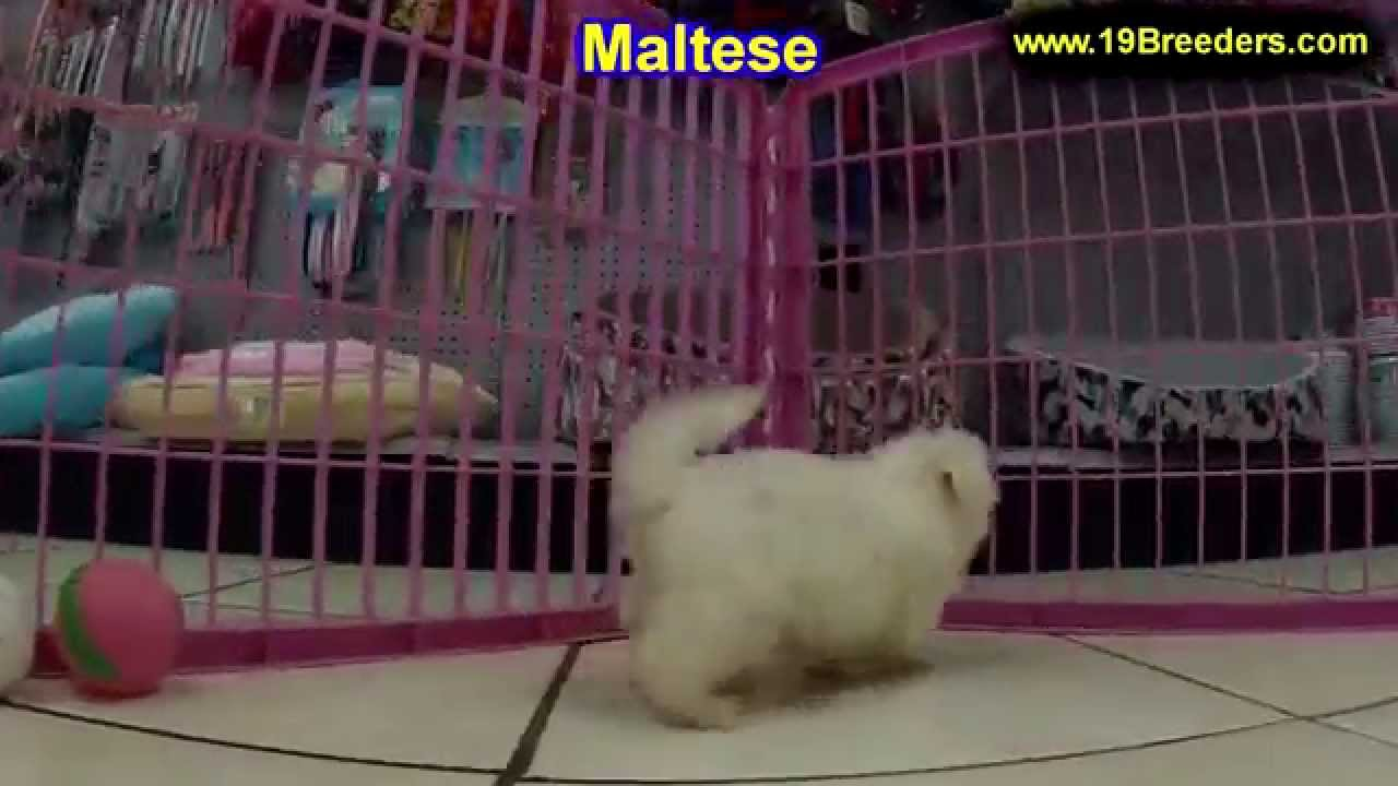 Maltese, Puppies, For, Sale, In, Cedar Rapids, Iowa, IA, West Des Moines,  Ames, Council Bluffs, Wate