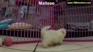 maltese puppies for sale in cedar rapids iowa ia west des moines ames council bluffs wate