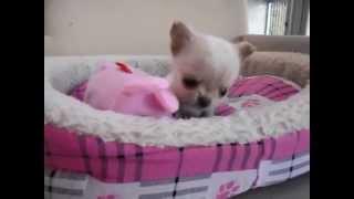 10月2日生まれのロングコートチワワのクリームの女の子です♪ 仔犬の...