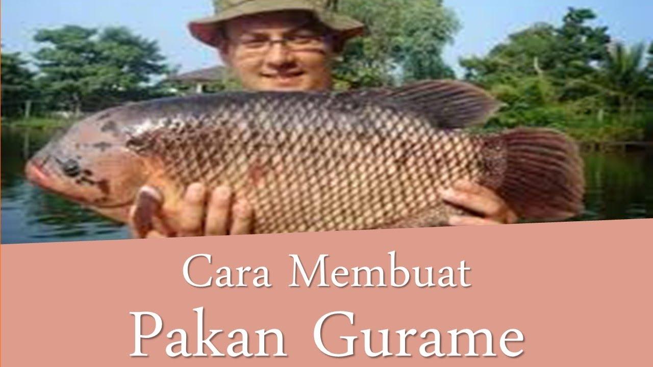 Rahasia Pakan Ikan Gurame Cepat Besar Murah Protein Tinggi Cuma Rp2 370 Kg Youtube