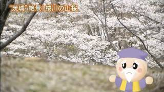 「磯山さやかの旬刊!いばらき」では,磯山さやかさんが桜の名所・ 桜川...