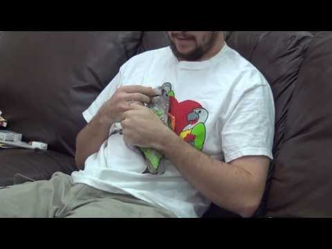 Truman Cape Parrot - Post Adolescence Cuddly Bird