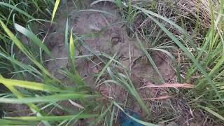 bẫy heo rừng đụng phải cao thủ bậy heo rừng#184