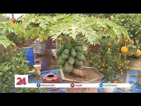 Độc đáo đu đủ bonsai chơi tết | VTV24