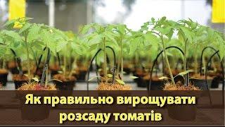 Як правильно вирощувати розсаду томатів | Как правильно выращивать рассаду помидоров?