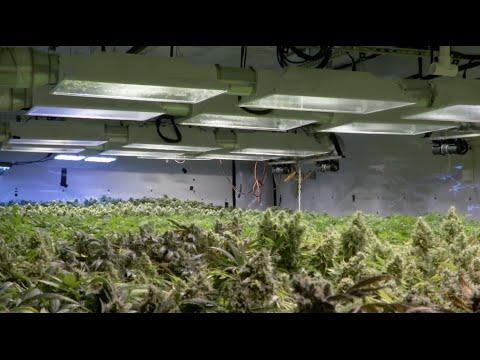 Pot black market still thrives after Colorado legalization