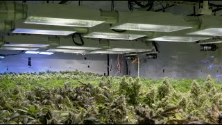 Pot black market still thrives after Colorado legalization