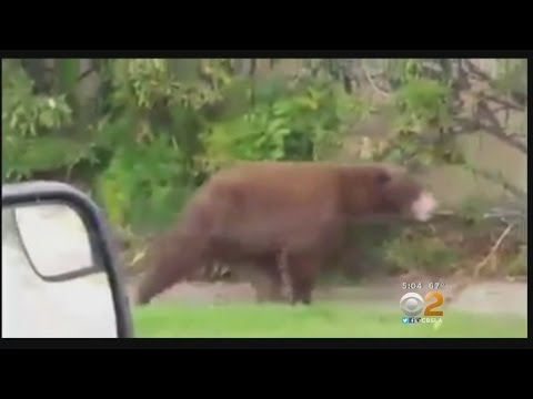 Bear Spotted Roaming Rancho Cucamonga Neighborhood Tranquilized, Taken Back To Wild
