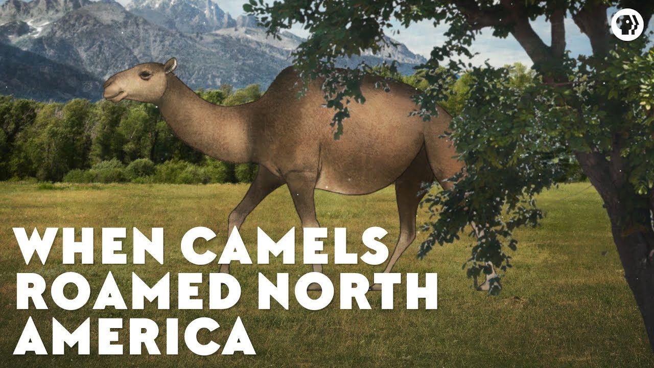 when-camels-roamed-north-america