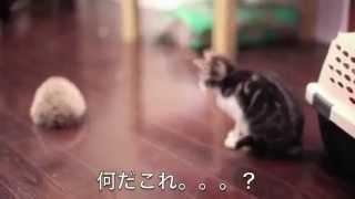 【仲良し動物動画】可愛すぎる子猫とハリネズミが初対面!興味津々のこねこ♡