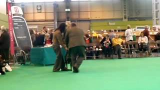 Hogan At Crufts (german Shorthaired Pointer) 2012