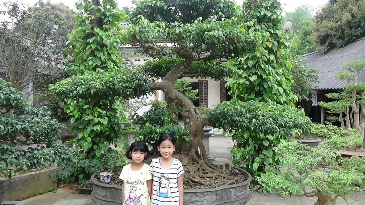 SH.1093.Nhiều người bàn tán về cây Si Đề nhà anh Phan Cường.Thanh Ba.Phú thọ.