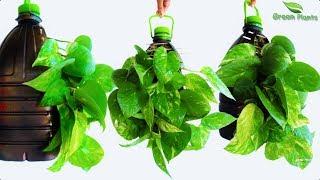 Money Plant Growing Idea in Plastic Bottle   Money Plant Decoration In Plastic Bottle//GREEN PLANTS