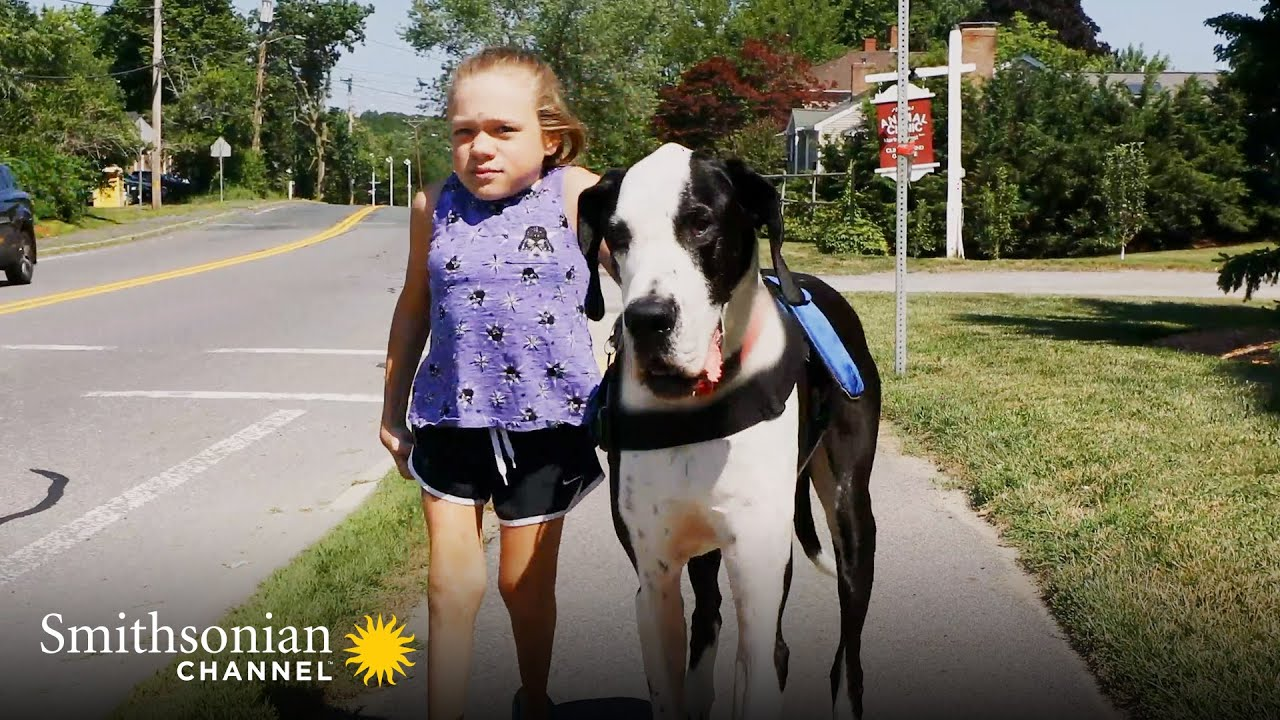 Heartwarming: This Great Dane Helped a Young Girl Walk On Her Own | Smithsonian Channel