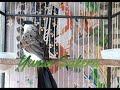 Burung Kutilang Gacor Suara Kicau Pikat Burung Kutilang The Sound Of Birds Singing Finches  Mp3 - Mp4 Download