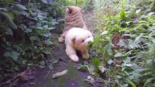 Чау Чау  прогулка щенков.