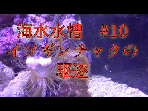 アクアリウム/Aquarium#10 セイタカイソギンチャクの駆除