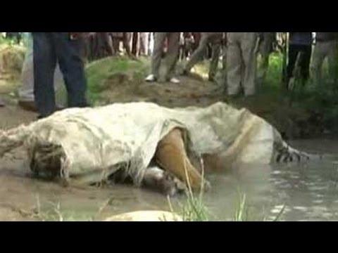 Two tigers killed near Corbett, 11 poachers arrested