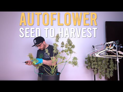 180W HALF POUND AUTOFLOWER CLOSET (Full Grow Cycle: Seed to Harvest)