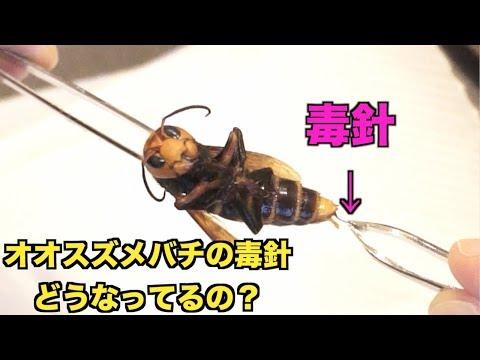 オオスズメバチから毒針を取り出す!!