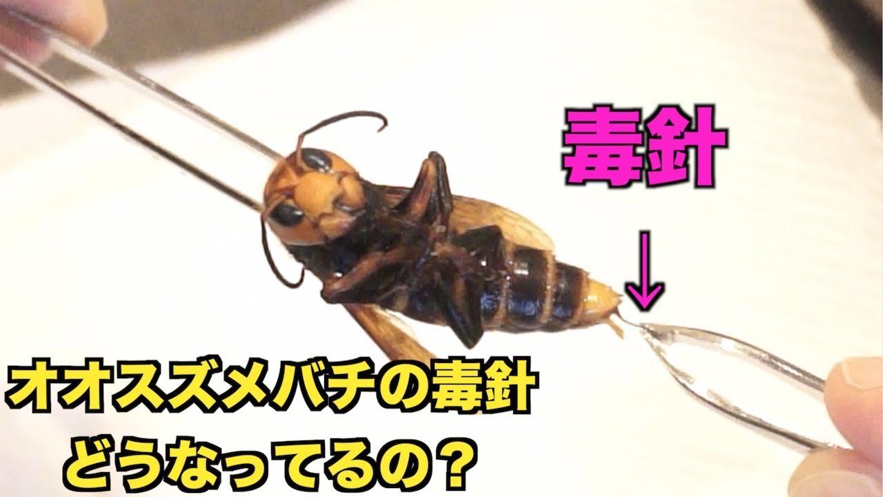 超危険】オオスズメバチから毒針...