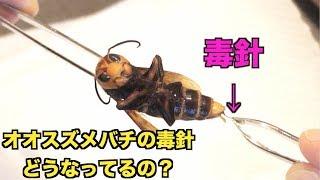【超危険】オオスズメバチから毒針を取り出す!!