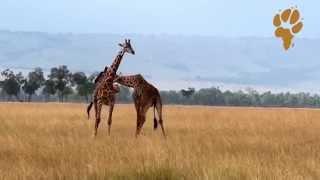 Дикая Африка. Природа Кении - битва жирафов, не на жизнь, а на... танго?