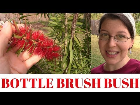 Bottle Brush Bush ~ Old Fashioned Practical Plant