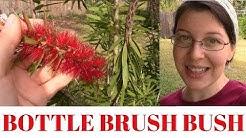 Bottle Brush Bush ~ Old Fashioned Practical Plant