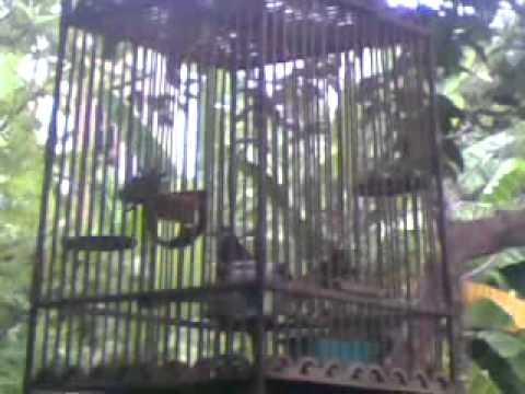 นกกรงหัวจุกป่าละอูแฮค2