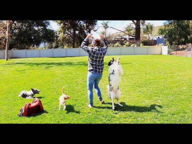 Practicing Splash and Tug's double dog routine - Dog Training