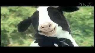 Funny | Crazy Smile Dairy Cows