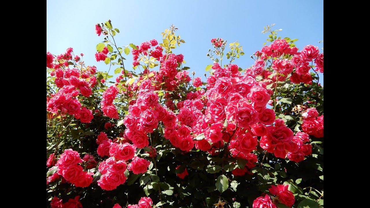 Плетистая роза,которая не подведет.Роза Фламентанц.