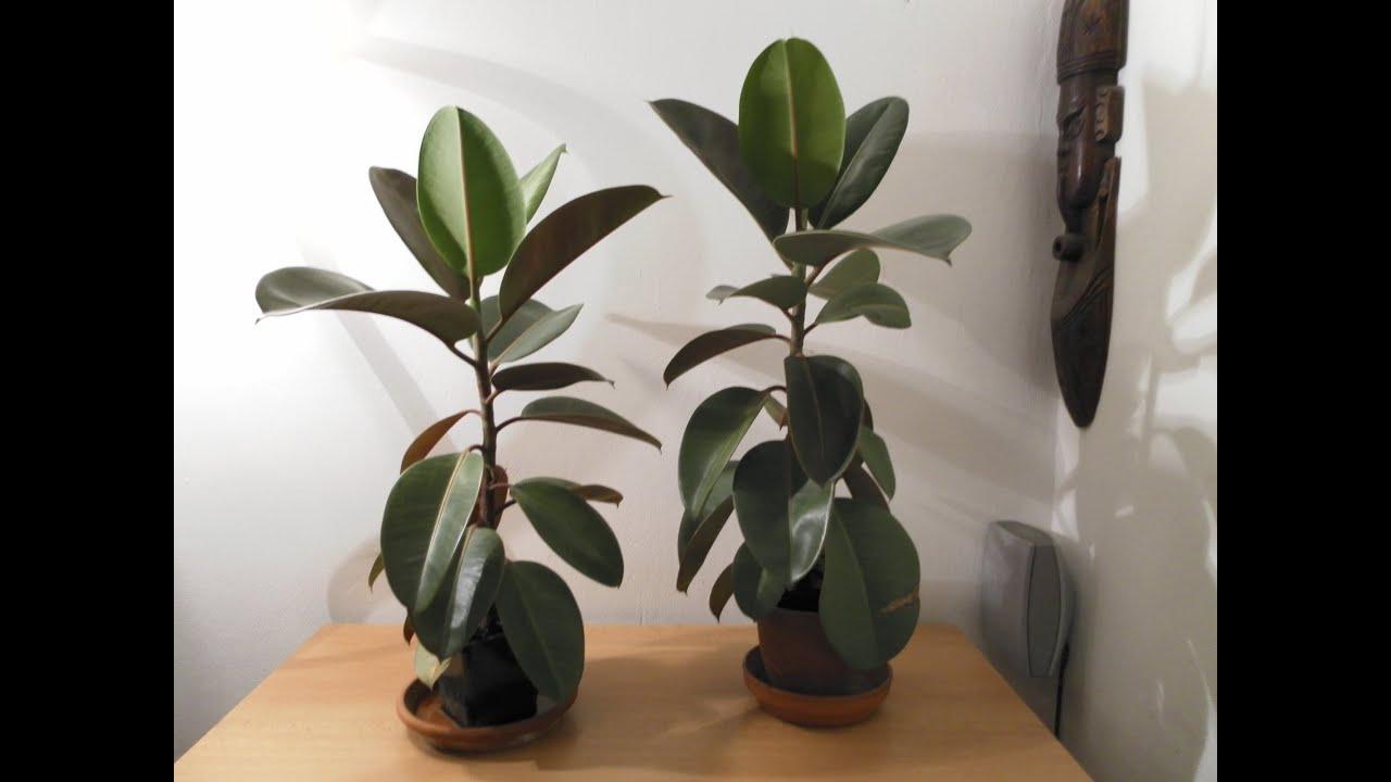 Potare Il Ficus Elastica ficus elastica