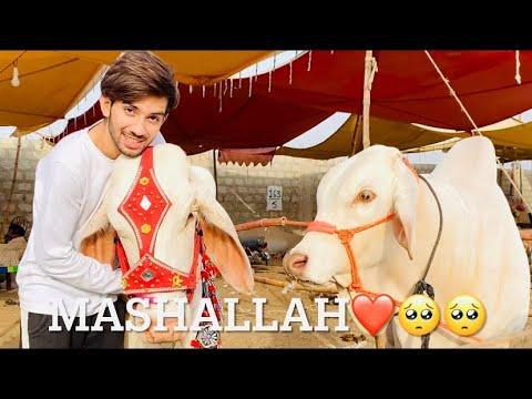 Download Cow Mili? 🥺 Pt.1    Bakra Eid Vlog    Shaheer khan