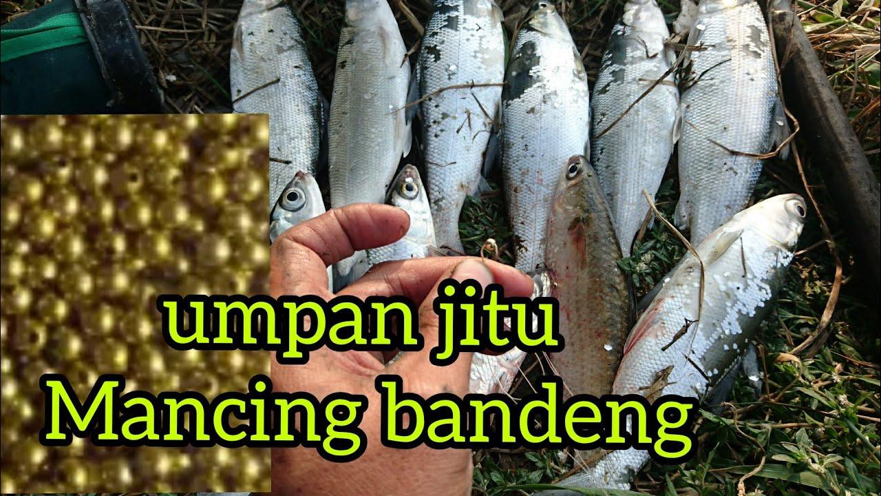 Bandeng Umpan Macing Ikan Bandeng Liar Cara Mancing Ikan Bandeng Youtube