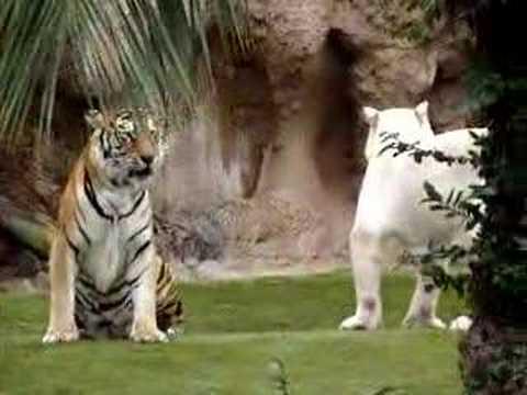 Un Poco De Maquillaje Tigre Blanco Doovi